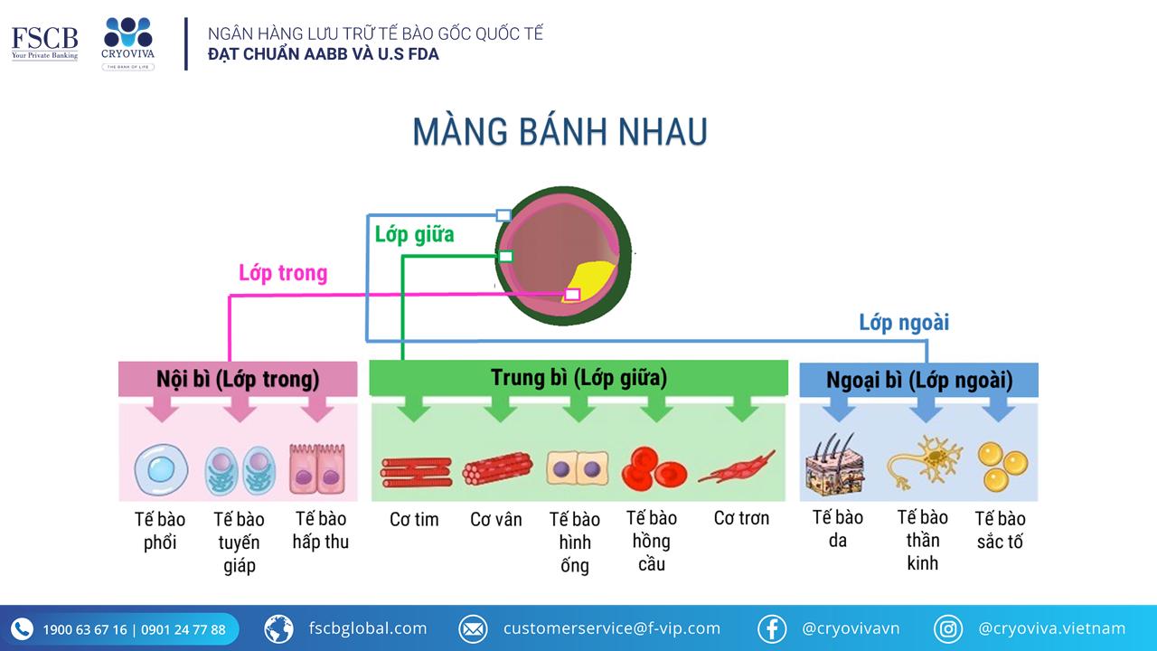 tế bào gốc màng bánh nhau asc